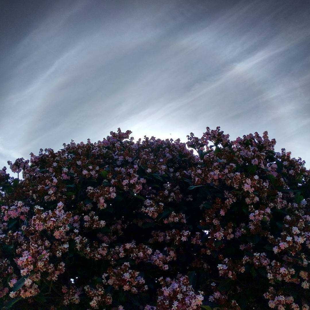 Hawthorn tree and halo. (At least I think it's an Indian Hawthorn. It's got the same leaves, bark and flowers as the bushes that are all over the place in this area, and Wikipedia says they can be pruned into trees.) #trees #halo