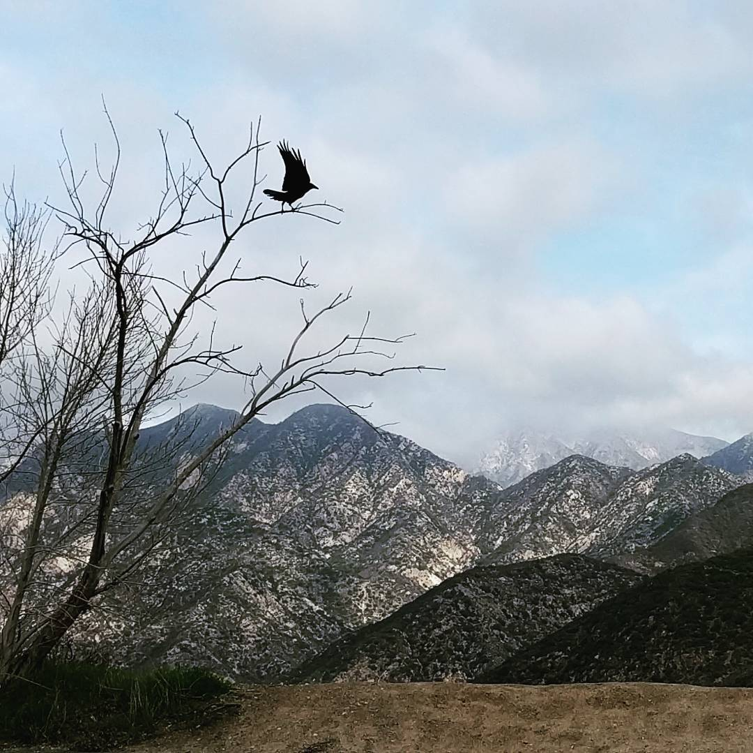 Misty mountains. I don't think the crow is from Dunland, though. #mountains #crow #tree #sangabrielmountains