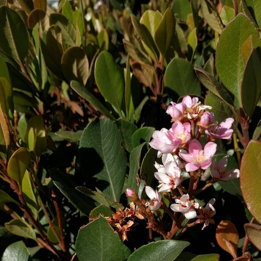 Hawthorne flowers blooming in a December heat wave.