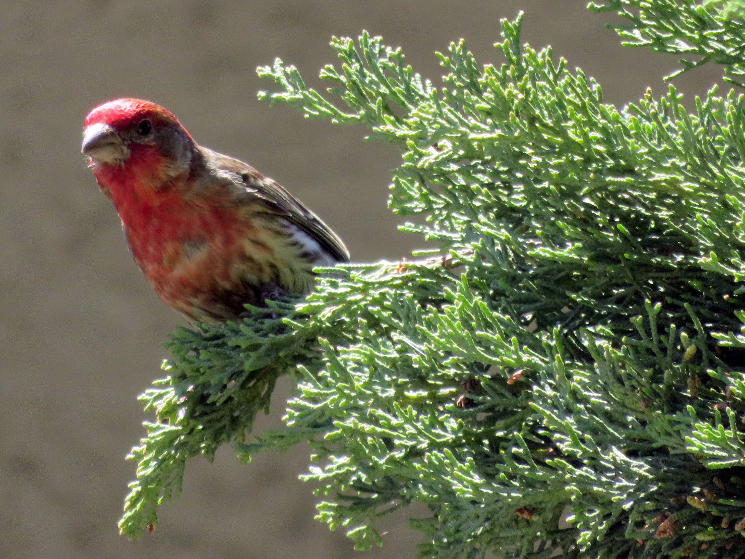 A finch that I spotted practically right outside my door a few weeks ago.