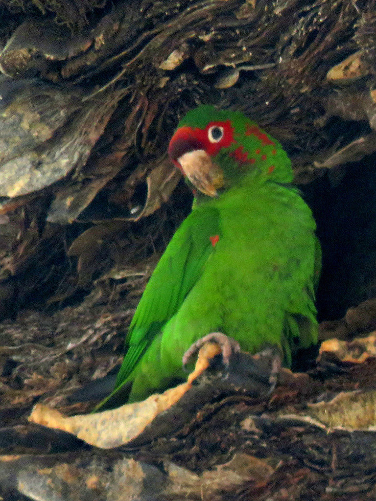 Green and red parakeet in a palm tree.