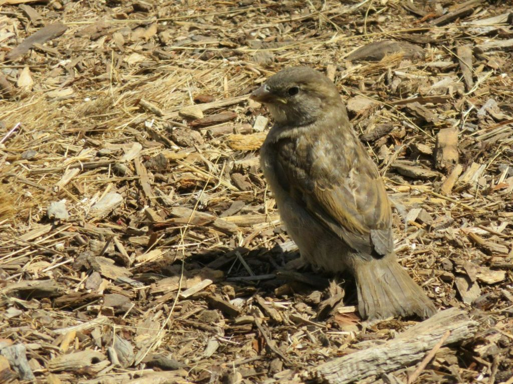 Sparrow on wood chips.