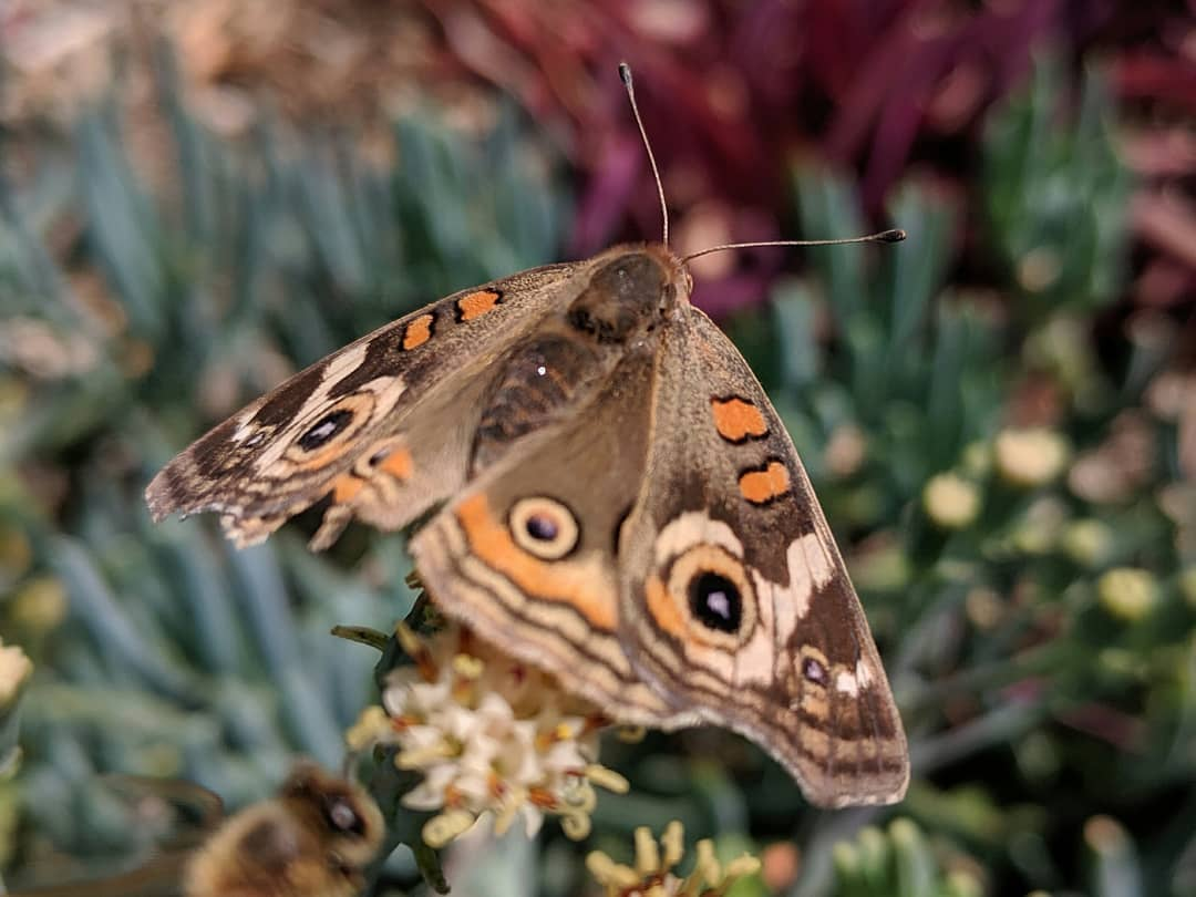 A common buckeye spotted on a walk around the block