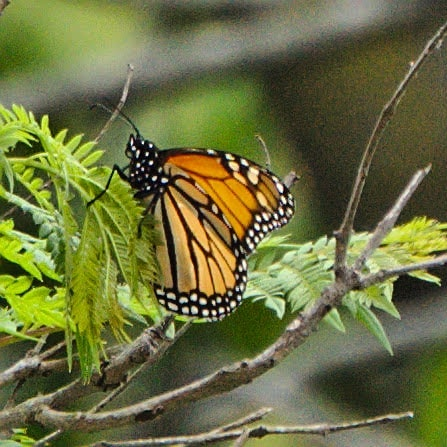 A spotted at the last week. I've been noticing the occasional monarch for several weeks, but I wasn't able to photograph any until this one