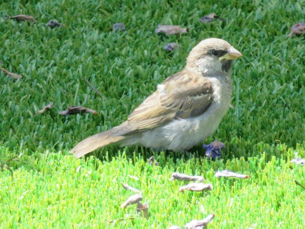Sparrow on AstroTurf