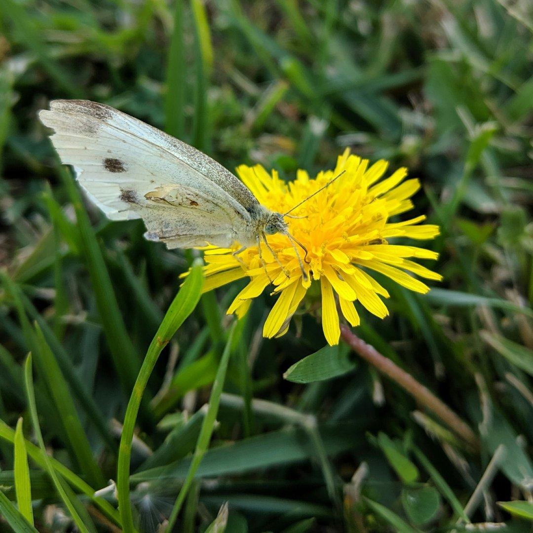 A cabbage white butterfly stops to find nectar on a dandelion.