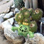 A Cacnea in a cluster of barrel cactus.