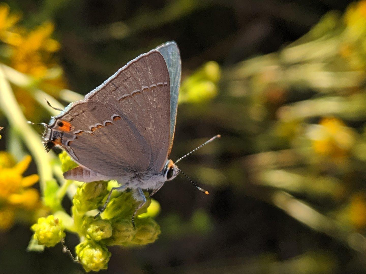 A #GrayHairstreak #butterfly. Not the one from the previous photo, but another one spotted on the same hike. #nature