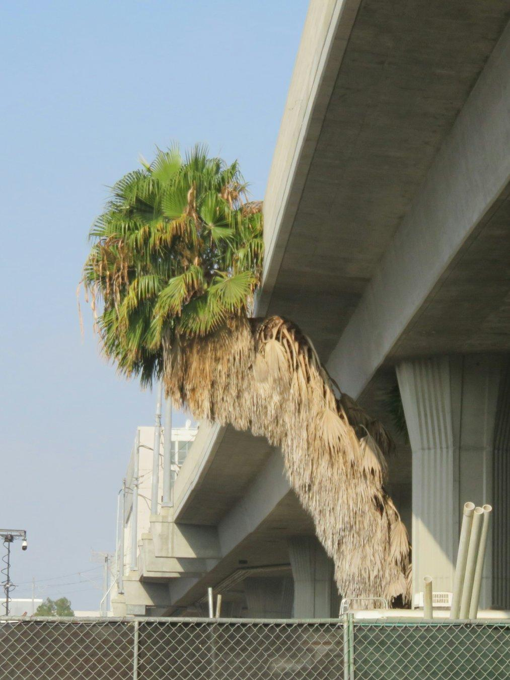 Finally stopped to take a photo of this tenacious palm tree. Not sure whether it was planted or if it just took root next to the support pillar back when the Green Line was new 2 decades ago. It's clearly not actively maintained, judging by all the old dry fronds still attached, and I keep wondering if it'll get taken out as part of the construction of the Crenshaw line...but that construction's almost done, and the tree's still there. #LosAngeles #tree #PalmTree