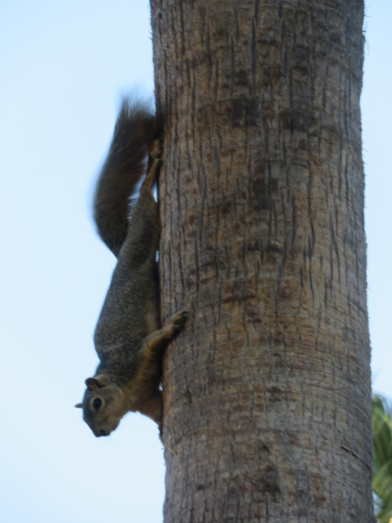 A squirrel on a tree trunk, pointed downward with its tail thrashing.