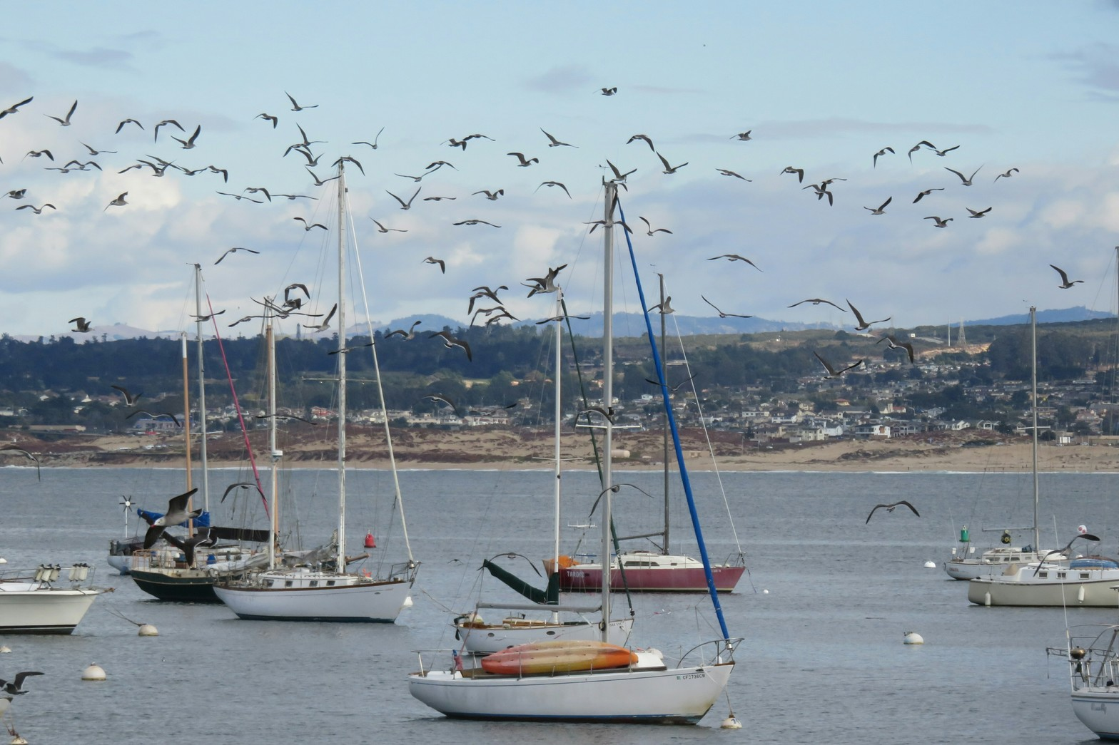 A flock of birds over sailboats on Monterey Bay. It was raining for most of ...