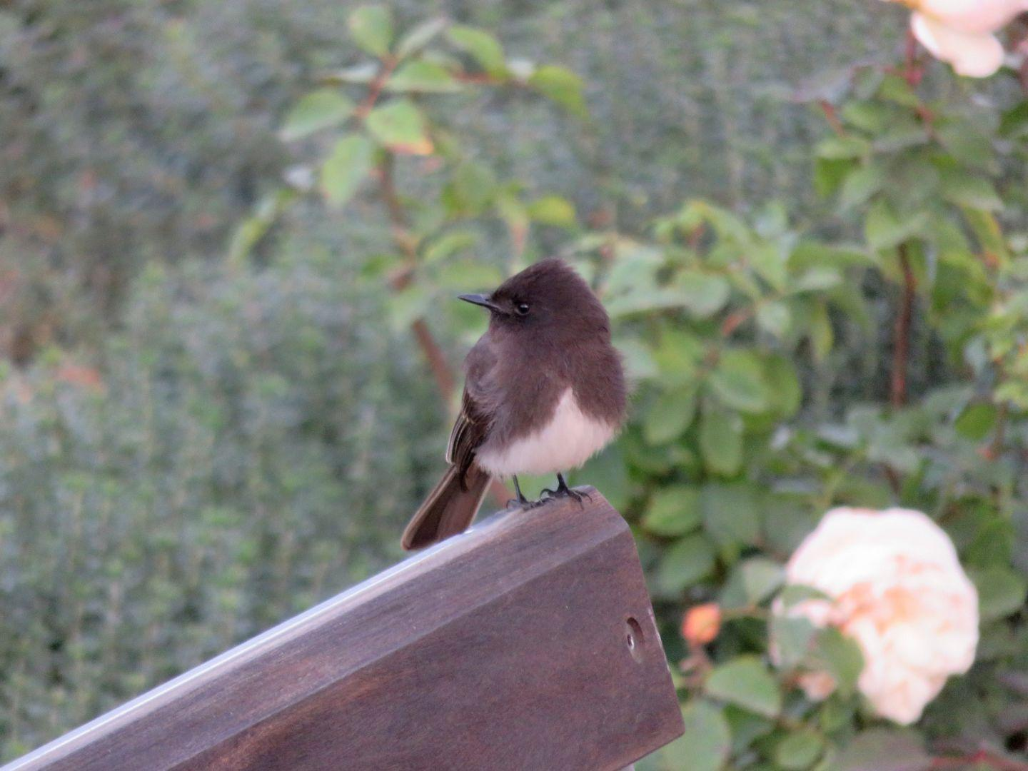 A Black Phoebe in the rose garden.
