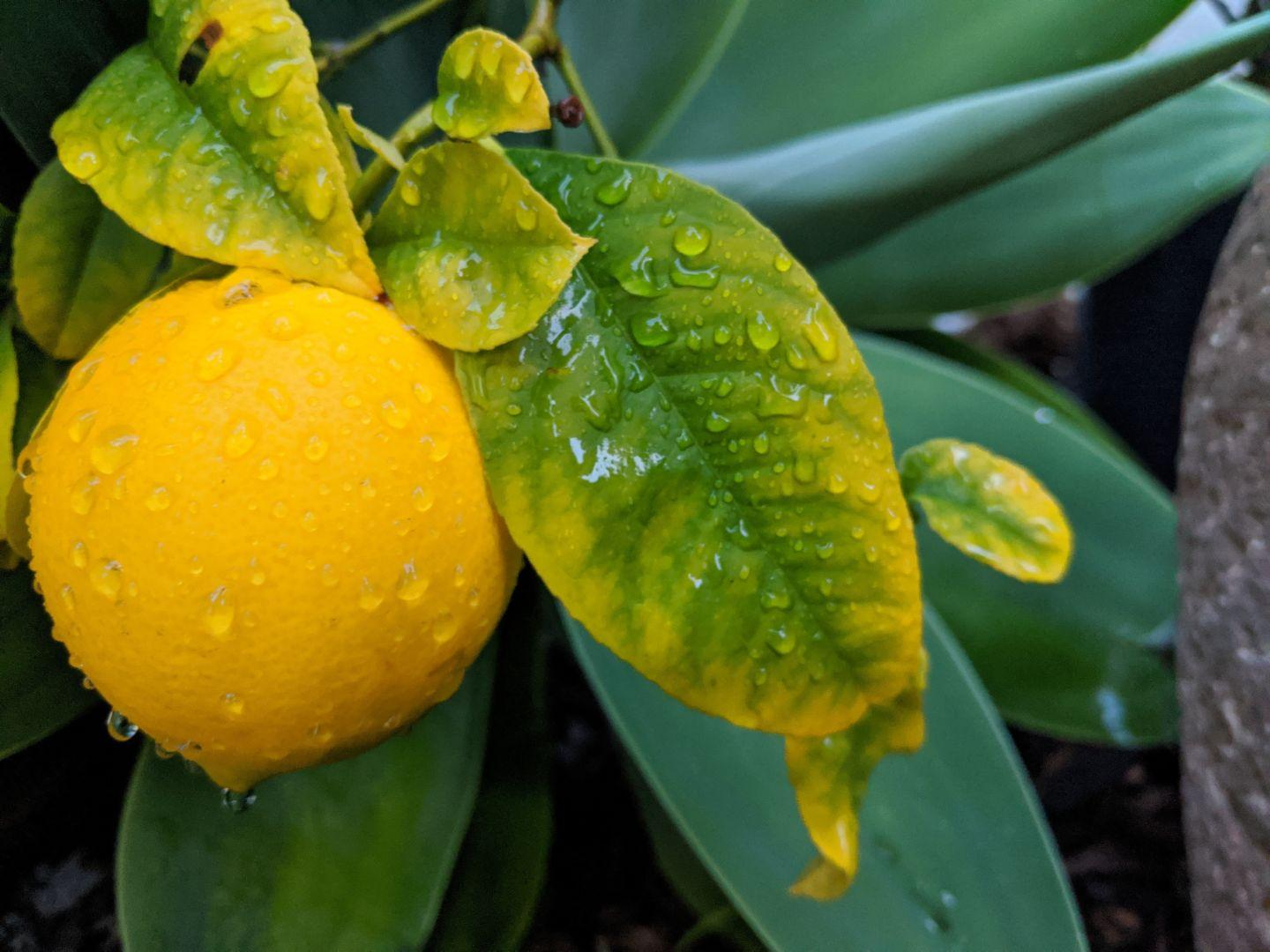 Lemon after the rain.