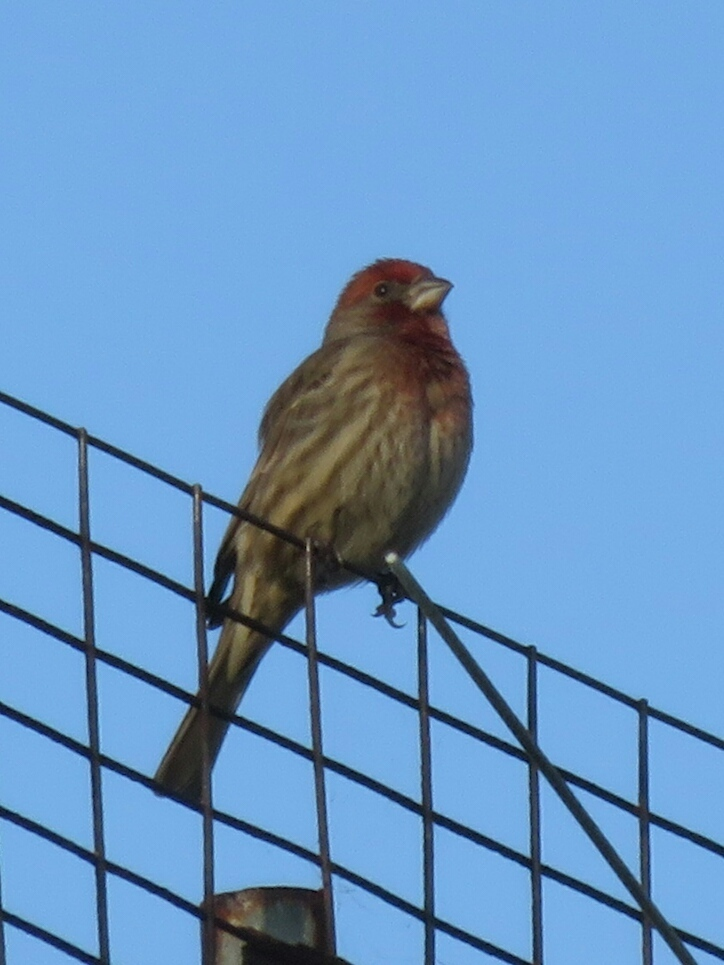 House Finch