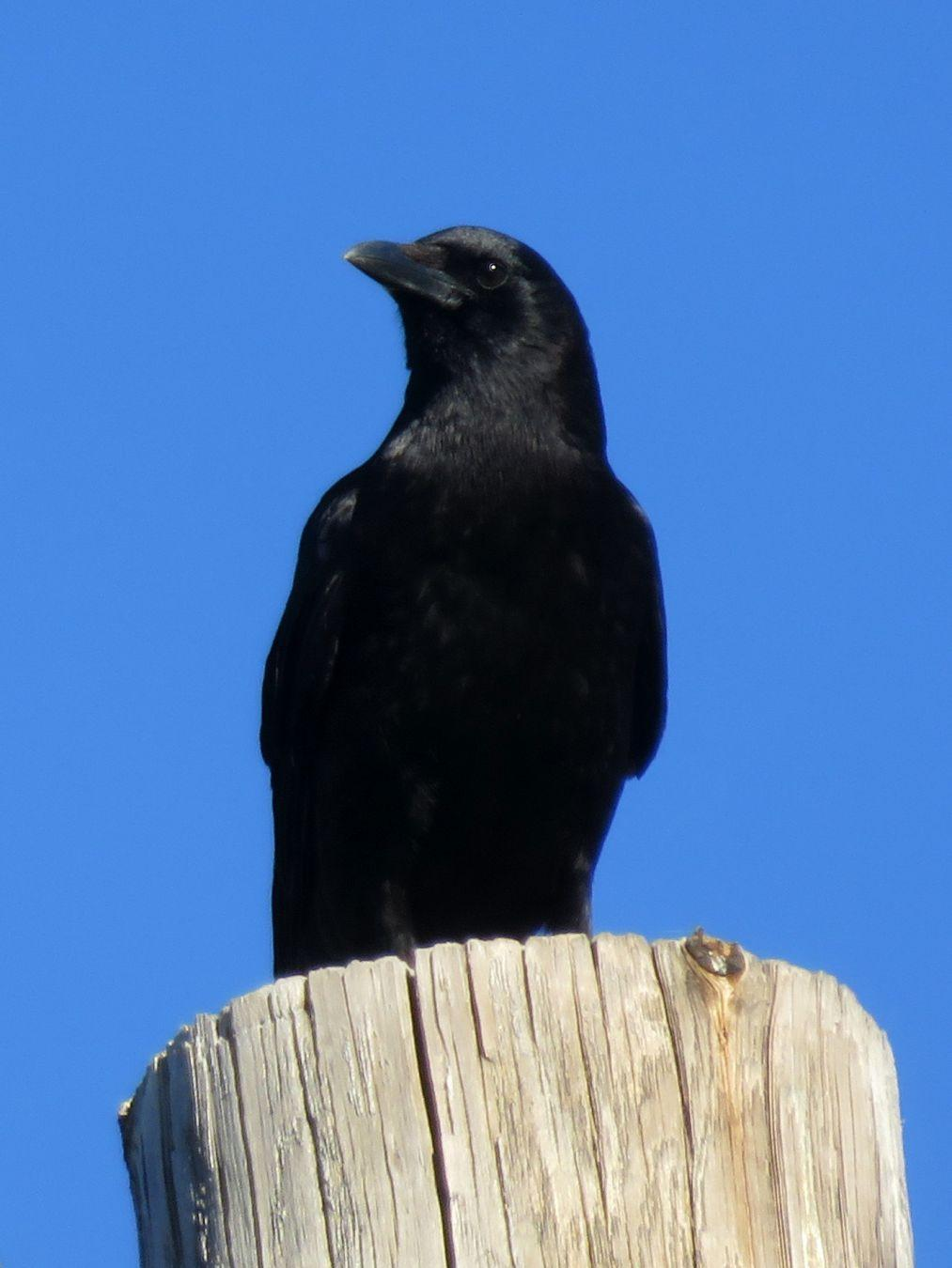 On the lookout. #birds #crow