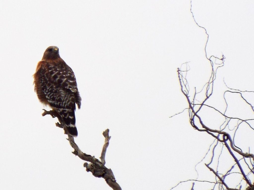 A brown hawk perched on the end of a long, bare branch, a few twisted branches nearby, but mostly empty gray sky.