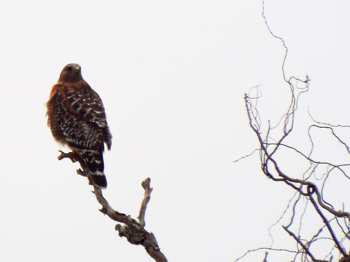 I've been seeing hawks lately when I'm out looking for birds. Partly, I suspect, because I'm actually *looking*. This one would probably have been very interested in the squirrel I spotted a minute or so earlier!