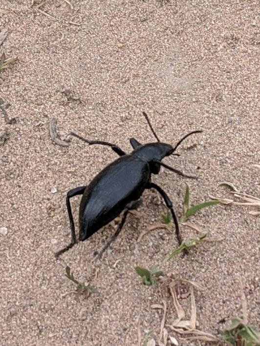Tenebrioninae