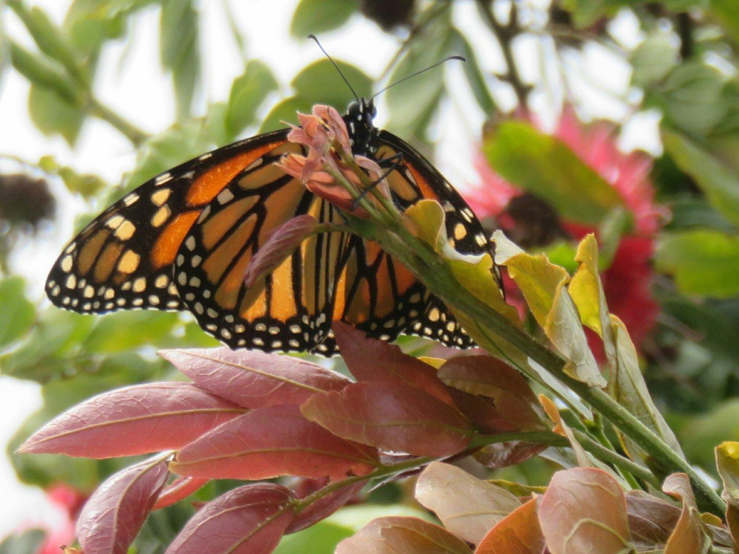 Spotted a #Monarch #butterfly today, and it actually landed and held still long enough for me to get a clear photo.