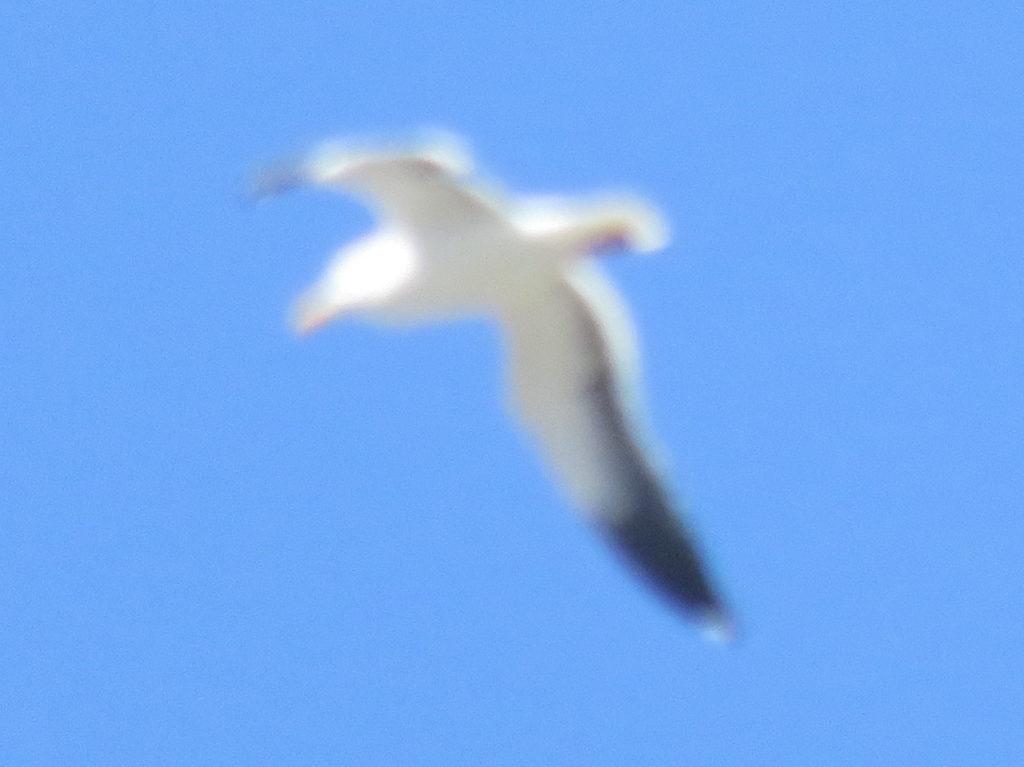 Blurry gull in flight against a clear blue sky.