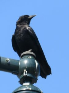 Crow on a lamp post.