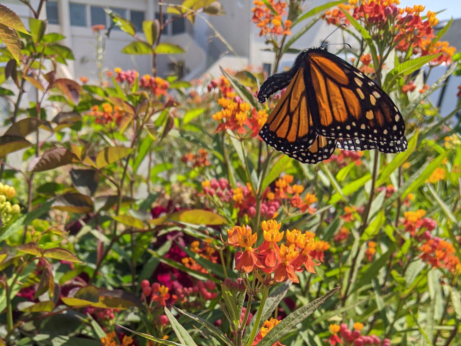 kelsonv: A #monarch butterfly