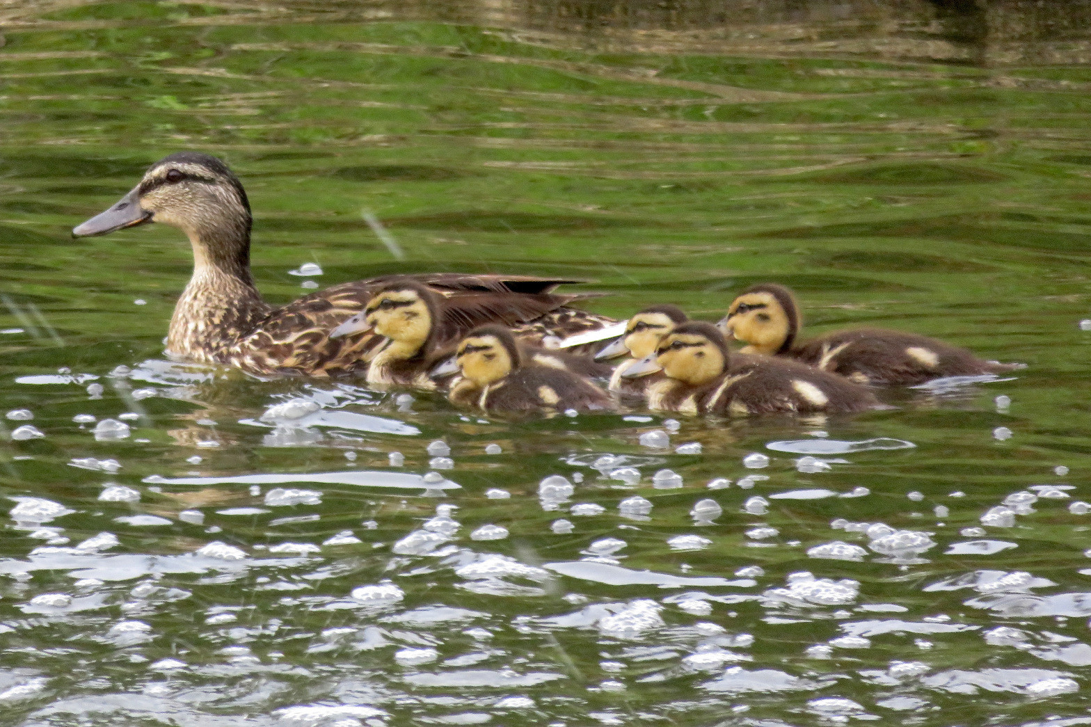 A mother duck and her ducklings