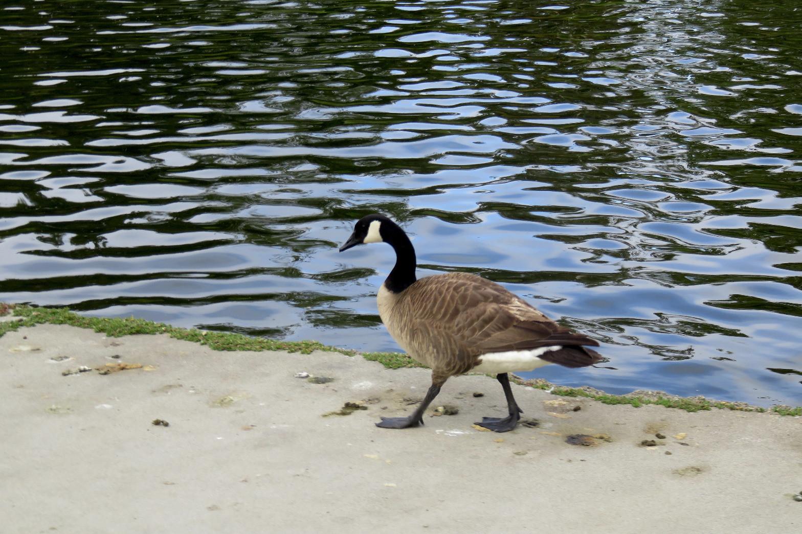 Goose walking along pond.