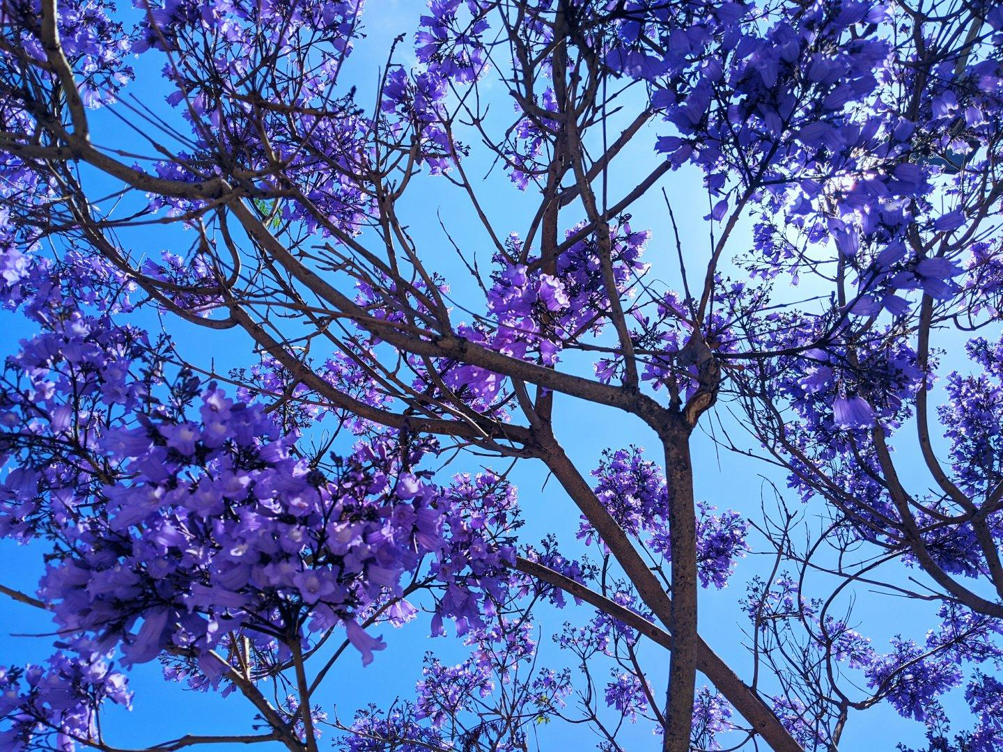 Jacaranda tree in bloom. #spring