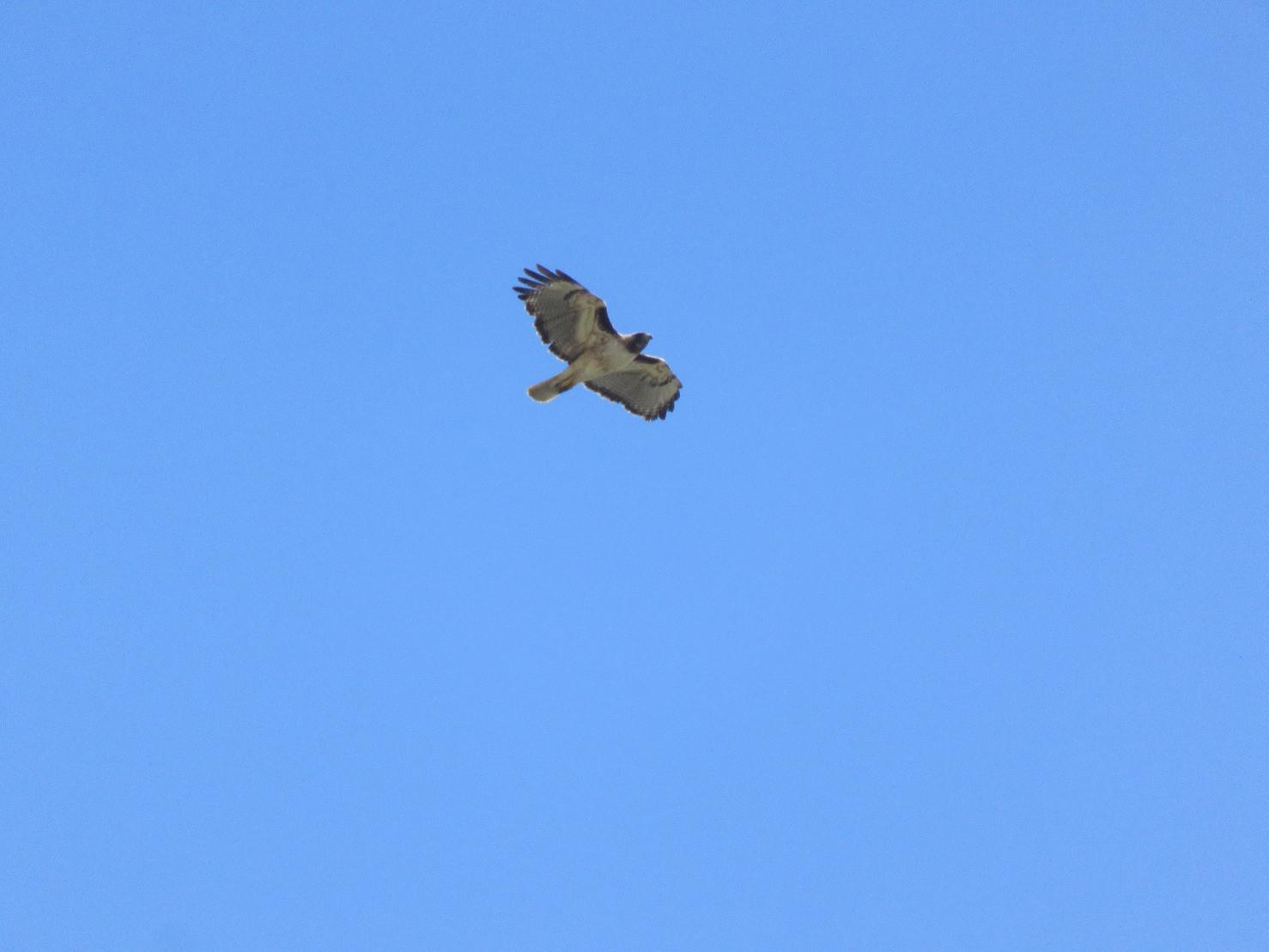 kelsonv: Bright the hawk's fl