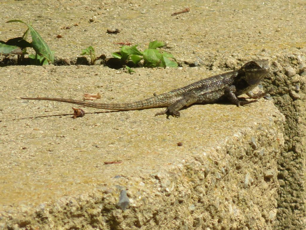 Spiny Lizards