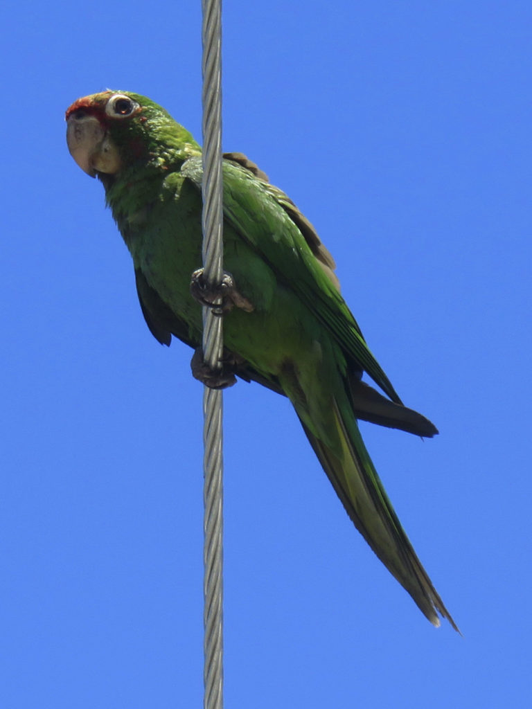 Parakeet on a cable.