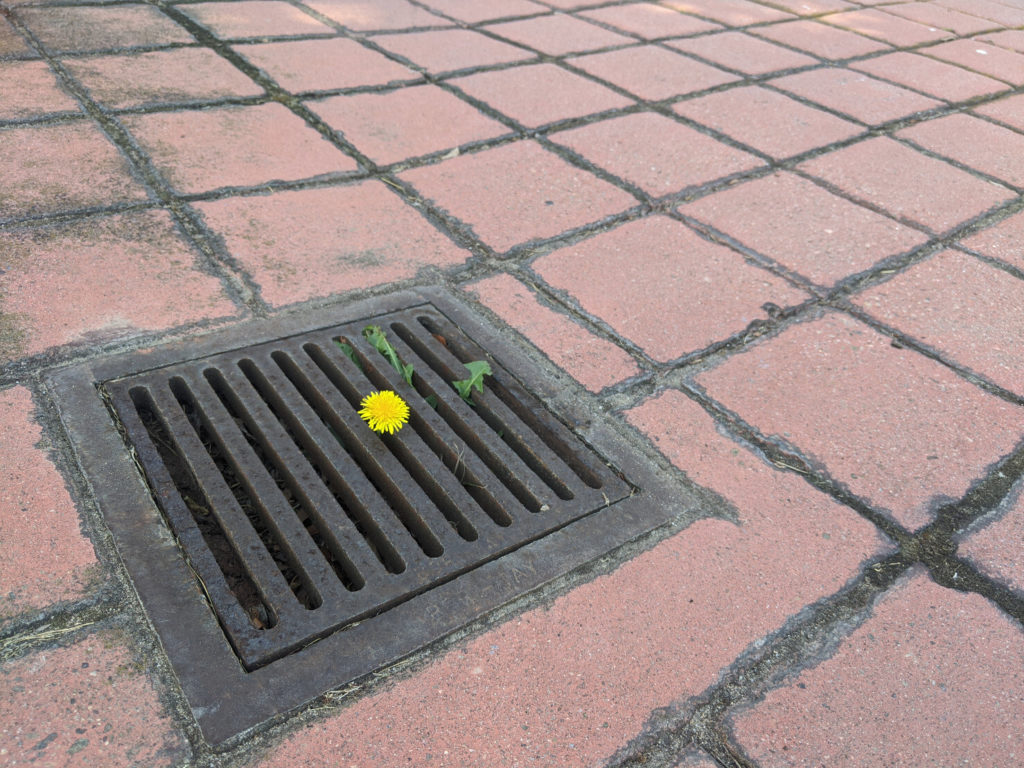 A single dandelion poking out from a drainage grate in a tile driveway.