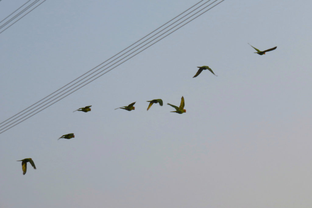 Eight parakeets flying across the sky in the distance.