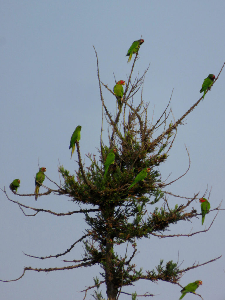 Ten green and red parakeets perched on the scraggly branches at the top of a pine tree.parakeets
