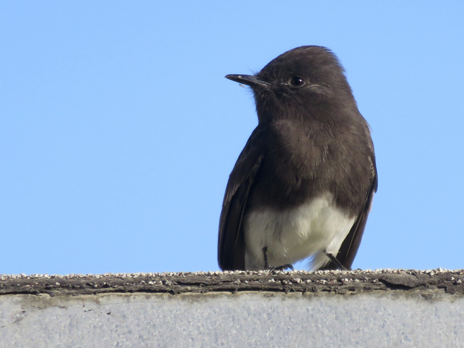 A black phoebe perched on the garage roof