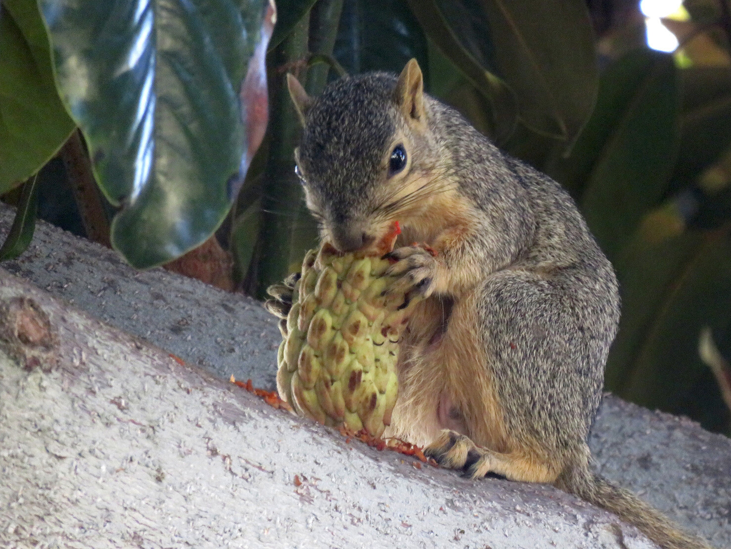 "kelsonv: ""A fox squirrel chowing down on…"""
