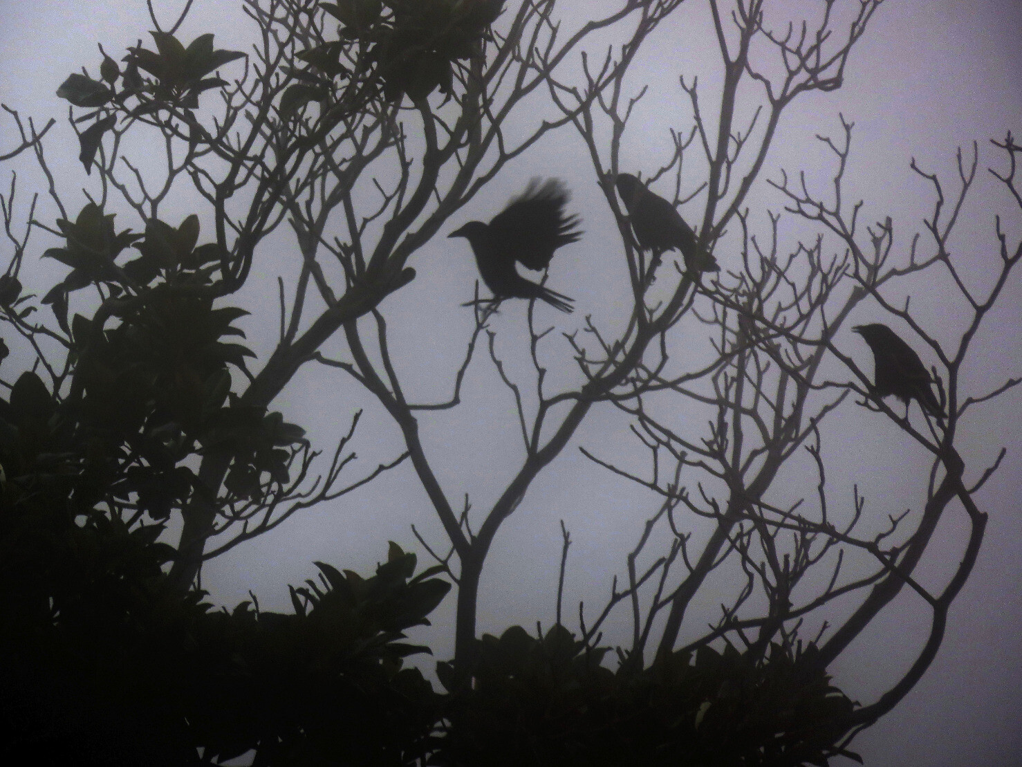 "kelsonv: ""Crows seen through this mornin…"""