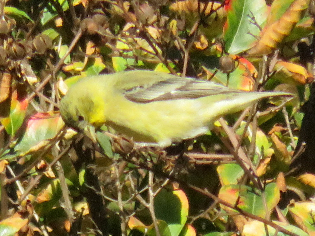 Siskins and New World Goldfinches