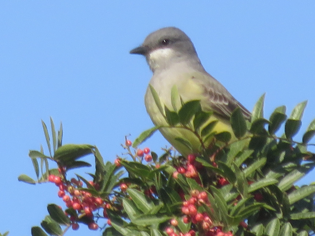 Kingbirds