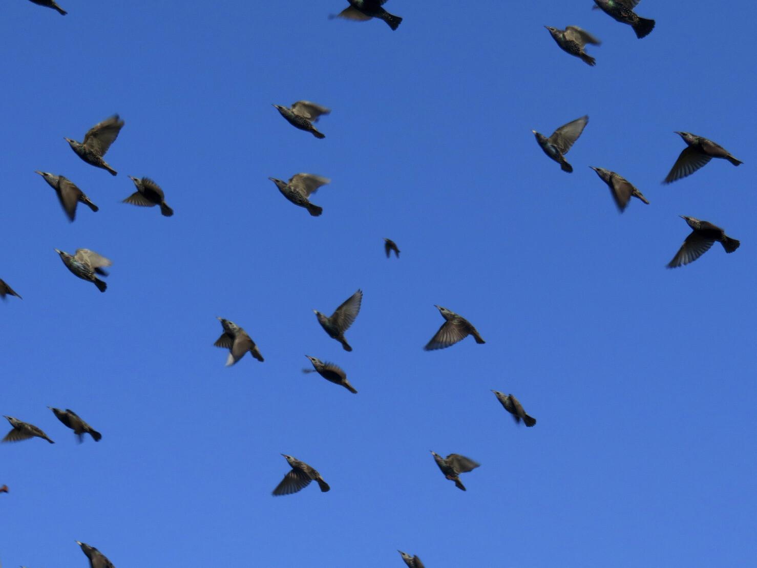 "kelsonv: ""A flock of #starlings moving b…"""