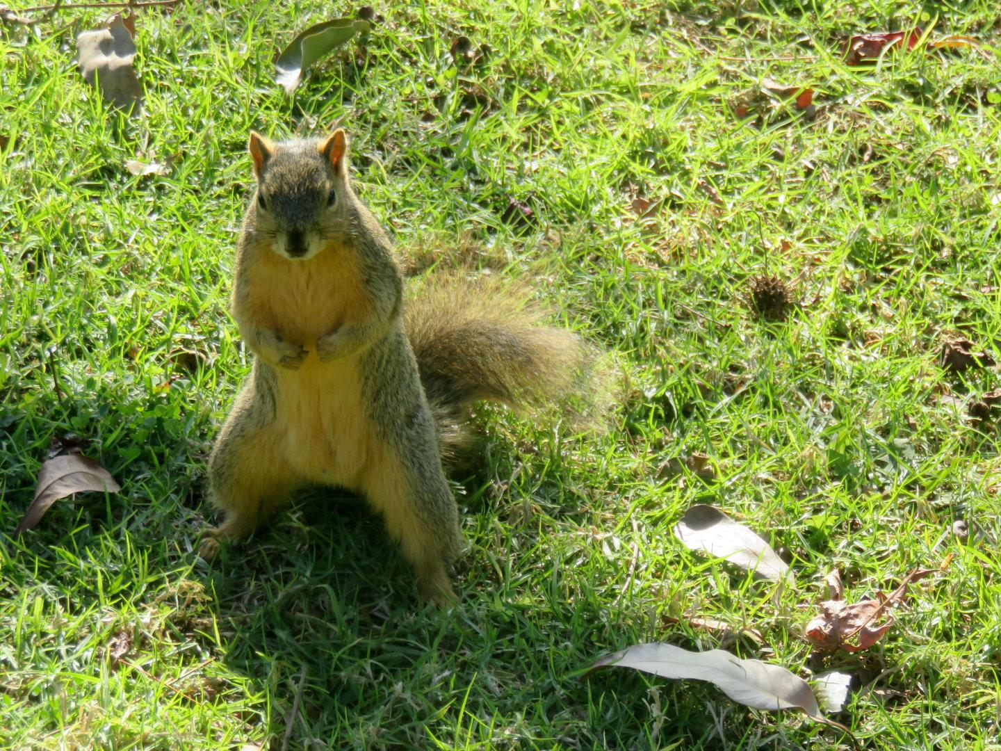 I saw this squirrel from about 20 feet away. It slowly moved toward me, pausing to pose every few feet. I think it was hoping I would feed it.