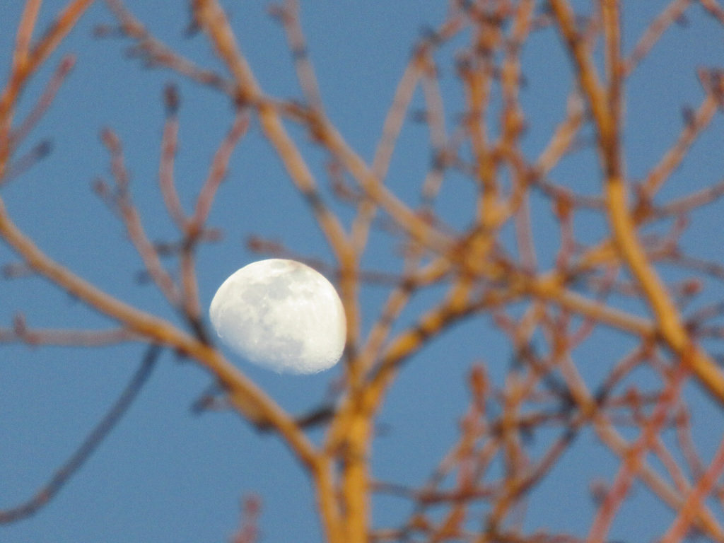 Gibbous moon in daytime behind out-of-focus tree branches.