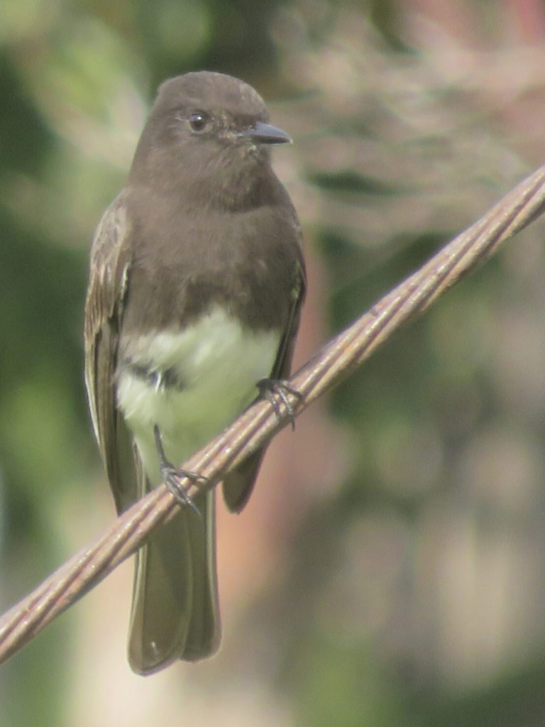 A small bird, mostly black except for its white belly, perched on a cable against a blurry green background.