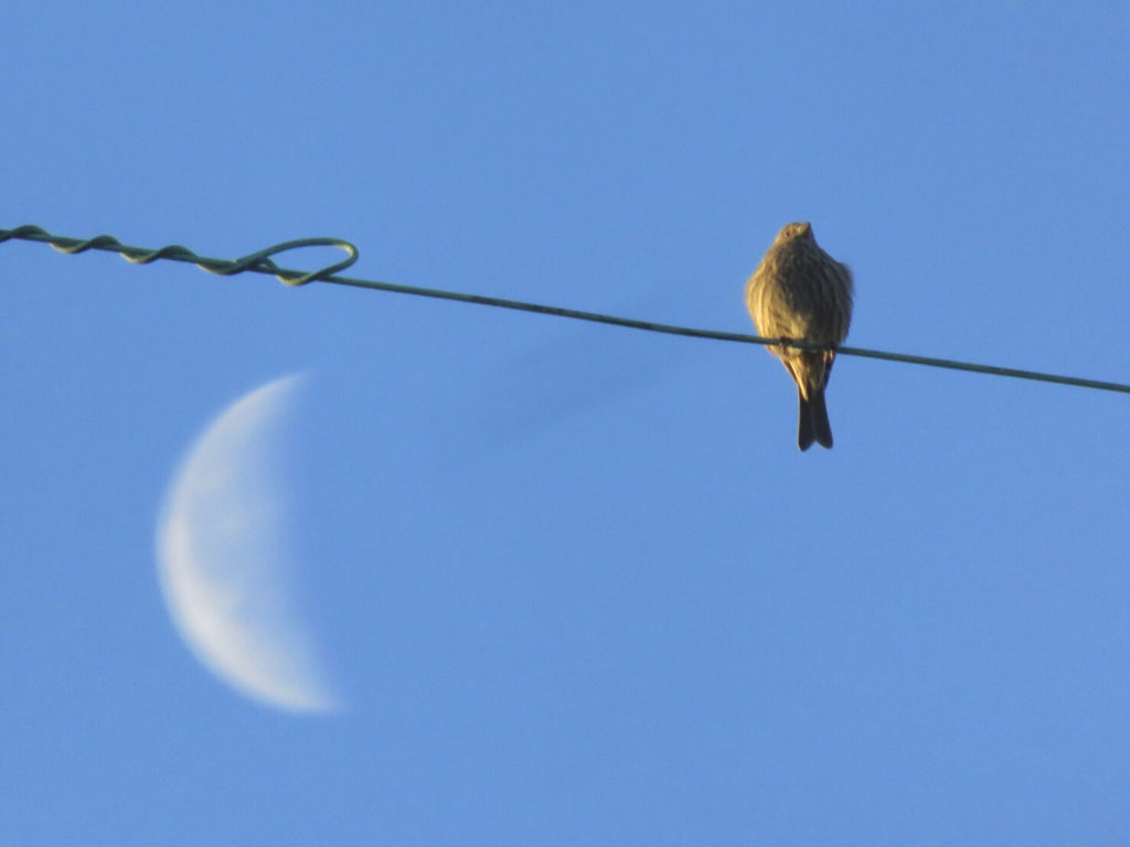Floofy bird on a wire with a blurry half-moon in the background.