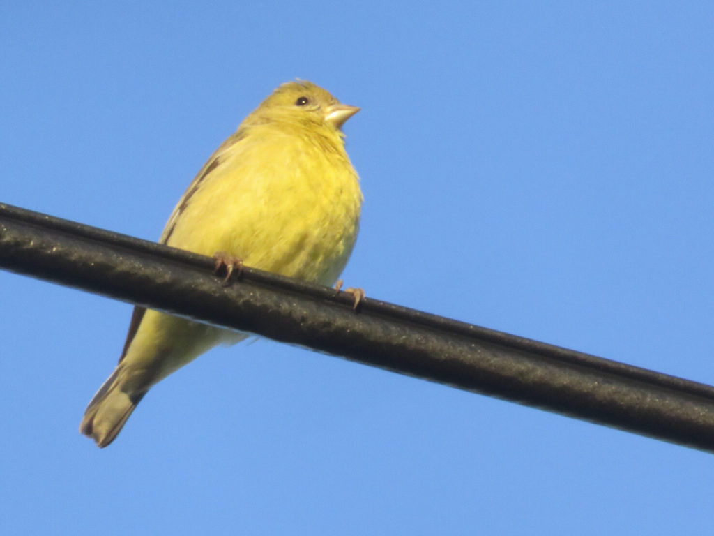 A very bright yellow bird with a small beak perched on a cable thicker than its feet, against a blue sky.