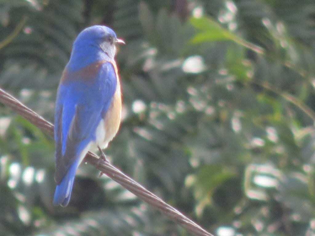 A very bright blue bird perched on a cable, looking away from the camera to the right, with blurry green leaves behind it.