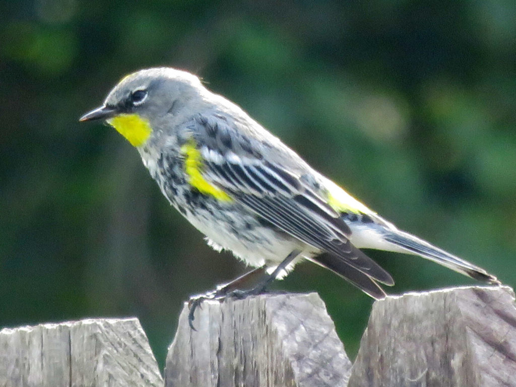 Gray bird on a fence with yellow patches at its throat, wings, and back.