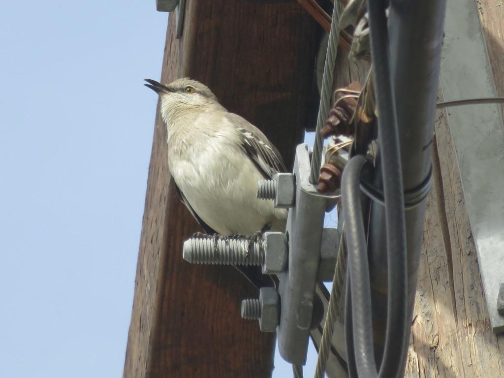 Typical Mockingbirds