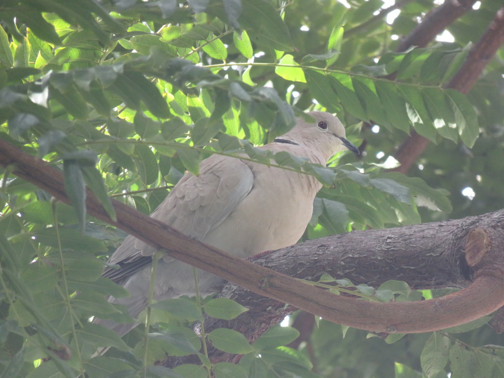 Turtle-Doves and Collared-Doves